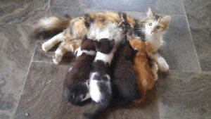 beautiful long haired kittens