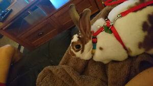 Female Mini rex rabbit