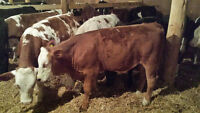 simmental stocker calves