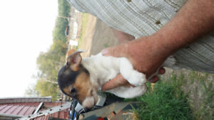 1 Jack Russell Terrier female Puppy LEFT