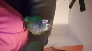 Pearly conure babies