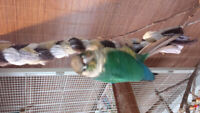 Femelle conure yellow-sided turquoise