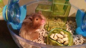 Hamster - Nibbles - $45 OBO