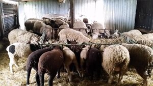 Ewe's, Rams, and Lambs for sale, Rams for rent.