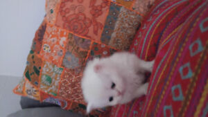 Little white cream persian girl