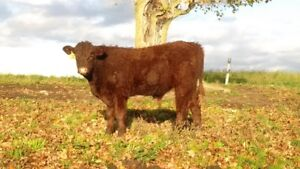 Salers Bull For Sale