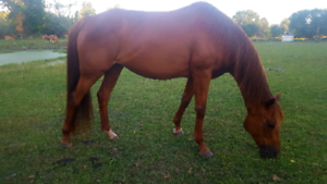 14 y/o Registered Thoroughbred Mare