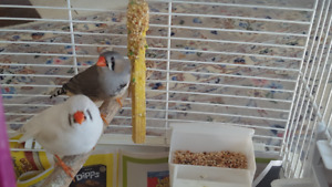 Healthy Adult Zebra Finches