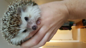 Male hedgehog. 1 year 8 months old. Comes with everything.