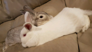 2 Bunnies with all their things for sale - price is negotiable
