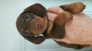 BEAUTIFUL SMOOTH MINI DACHSHUND PUPPIES..PARENTS ON SITE