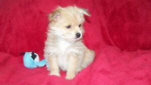 JUST 2 LEFT Adorable teddy bear pom morkie puppies
