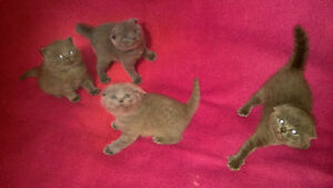 PURE BREED Scottish Fold kittens