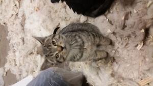 Free Kittens 12 weeks old...3 black 1 tabby