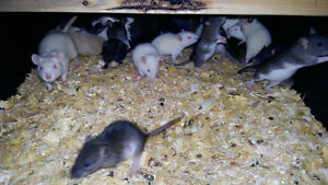 Live and frozen rodents for snakes and reptiles for sale