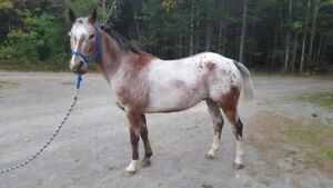 15 year old appaloosa gelding