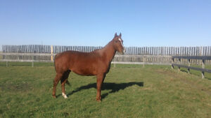 MM Frost Cash - 4 yr old AQHA gelding for sale