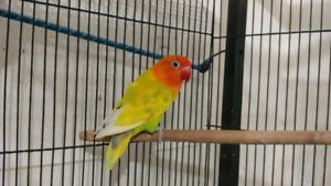 Lovebird fisher