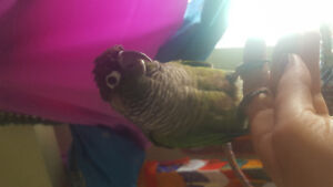 wonderful and tame conure