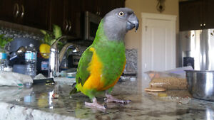 Lilly is looking for a new home - Senegal Parrot