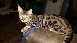 Purebred male bengal Kitchener / Waterloo Kitchener Area image 1