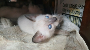Pure bred Siamese kittens with Vet Checks, Shots, and Deworming