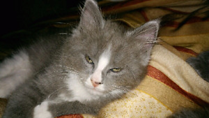 Maine Coon/Rag doll Cross Male Kitten