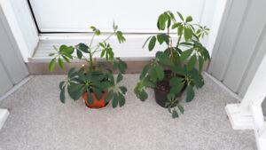 SCHEFFLERA plante intérieure au beau feuillage vert!