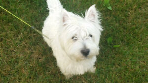 West Highland White Terrier puppy for sale