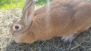 Very Pretty & Sweet Litter Trained Female Rabbit