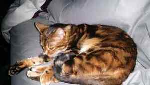 Sweet Bengal needs a new home