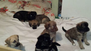 Puppies for sale. Ready to go on wednesday April 6th