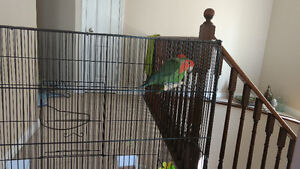 2 love birds for sale with cage and little house
