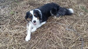 Border Collie Male Needing to be Rehomed Strathcona County Edmonton Area image 2
