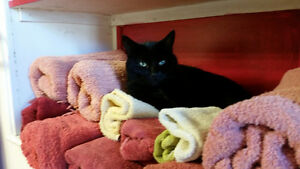 BLACK BEAUTY FEMALE CAT NEEDS A NEW HOME