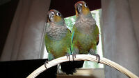 Rare - Crimson Bellied Conure