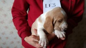 Basset Hounds Pups For sale