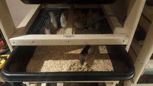 Rats for sale, pups, small, medium,