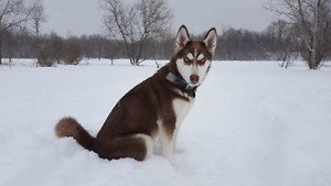 Looking for a Male Husky or Malamute for breeding!