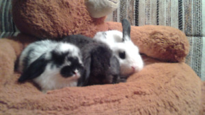 Holland lop purebred bunny  need new home