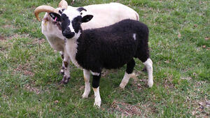 Lambs For Sale