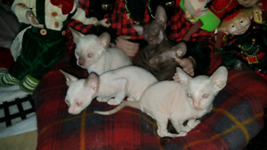 Superbe cornish rex 900$