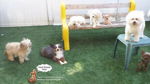 CAGE-FREE SITTING FOR SMALL DOGS SINCE 2010 BY CERTIFIED TRAINER West Island Greater Montréal image 8