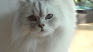 WANT TO BUY A BEAUTIFUL **FEMALE PERSIAN**