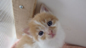 2 Super Adorable Affectionate Male Kittens 8 weeks old
