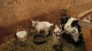 Pure Bred Pygmy Goats