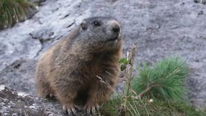 Chasse au marmottes commune