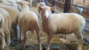 Agneau , lambs