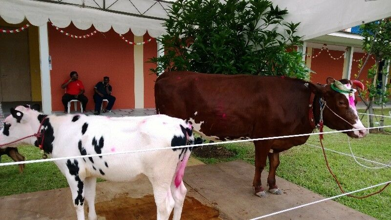 House warming, Movie shoot, Touch and Feel for children with real cows,,calf and goat