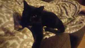 1.5 year old Black Cat for free